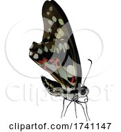 Graphium Doson Common Jay Butterfly