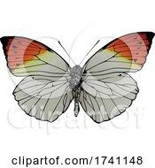 Hebomoia Glaucippe Great Orange Tip Butterfly