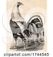 Poster, Art Print Of Historical Image Of A Fighting Cock Rooster