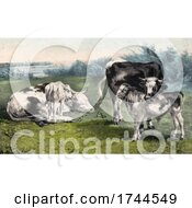 Calfs And Cattle