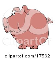 Fat Pink Pig With A Curly Tail Holding Food In His Cheeks