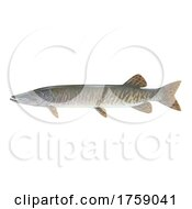 Muskellunge Muskie Musky Fish On A White Background