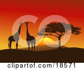 Giraffe Pair Silhouetted On A Hilly African Landscape Near A Tree In Front Of A Big Red Sunset On The Serengeti Horizontal Composition