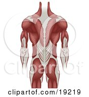 Clipart Illustration Of Ligaments And Muscle Of A Grown Mans Back Including The Back Of The Arms And Legs by AtStockIllustration