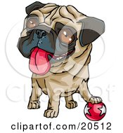 Cute Brown Eyed Pug Dog Hanging His Tongue Out And Looking Upwards While Resting His Paw Playfully On A Ball
