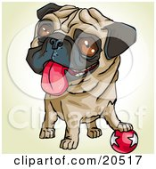 Poster, Art Print Of Playful Pug Dog With His Paw On A Ball Hanging His Tongue Out