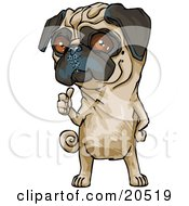 Poster, Art Print Of Cute Brown Eyed Pug Dog Hitchhiking And Standing On His Hind Legs