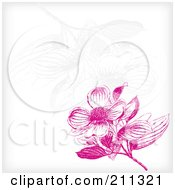 Pink Dogwood Flower Blossom Background With Faint Flowers On White