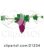 Clipart Illustration Of A Bunch Of Purple Concord Grapes With Green Leaves On A Grapevine Over A White Background