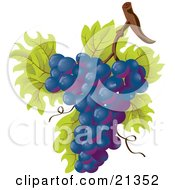 Bunch Of Purple Grapes Growing On The Vine With Green Leaves And Twines