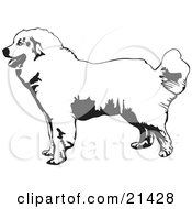 Clipart Illustration Of A Friendly Great Pyrenees Mountain Dog In Profile Facing To The Left On A White Background by David Rey