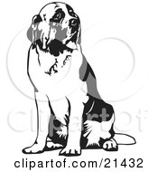 Large St Bernard Dog Spanting And Sitting Looking Off To The Right On A White Background