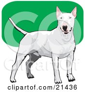 Friendly White Bull Terrier Dog Wagging Its Tail And Facing Front Over A Green And White Background