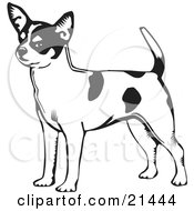 Clipart Illustration Of An Alert Short Haired Chihuahua Dog With A Spotted Coat Holding His Tail Up And Facing Left On A White Background