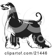 Clipart Illustration Of A Long Haired Afghan Hound Dog Standing Proudly In Profile Facing To Left Over A White Background