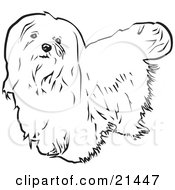 Clipart Illustration Of A Long Haired Maltese Dog Looking Upwards On A White Background