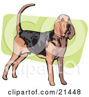 Clipart Illustration Of An Alert Brown And Black Bloodhound Also Known As The St Hubert Hound Standing Over A Green And White Background