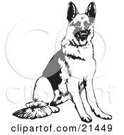 Obedient German Shepherd Dog Seated And Waiting For A Command