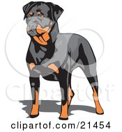 Clipart Illustration Of A Muscular Brown And Black Rottweiler Dog Standing And Looking To The Left