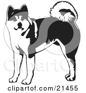 Clipart Illustration Of An Alert Akita Dog With A Curled Tail Looking At The Viewer