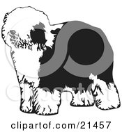 Hairy Dulux Or Old English Sheepdog Standing And Facing Left On A White Background by David Rey