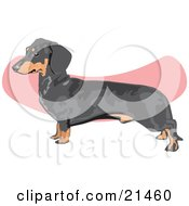 Clipart Illustration of a Brown And Black Dachshund, Doxie, Dackel, Or Teckel Dog Over A Pink And White Background by David Rey