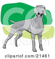 Alert Gray Weimaraner Dog Facing Right Over A Green And White Background by David Rey
