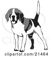 Happy Beagle Dog Wagging His Tail On A White Background by David Rey