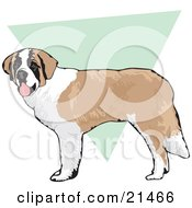 Friendly Brown And White St Bernard Dog Standing Over A Green And White Background by David Rey