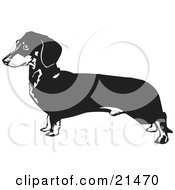 Clipart Illustration Of A Long Dachshund Doxie Dackel Or Teckel Dog On A White Background
