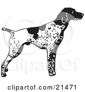 Alert English Pointer Dog Standing And Pointing In Profile Facing Right by David Rey