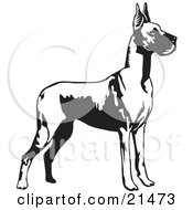 Great Dane Dog With Cropped Ears Standing Alert And Facing Right Over A White Background by David Rey