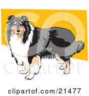 Long Haired Brown White And Black Collie Dog Standing Against A Yellow And White Background by David Rey