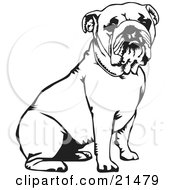 Cute And Obedient Bulldog Seated Over A White Background by David Rey