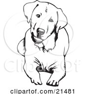Cute And Curious Labrador Retriever Dog Lying Down And Tilting His Head On A White Background by David Rey