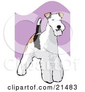 Standing And Alert Wire Fox Terrier Dog With A White Black And Brown Coat by David Rey