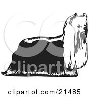 Hairy Yorkie Yorkshire Terrier Dog In Profile Facing Right On A White Background by David Rey