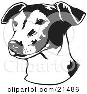 Jack Russell Terrier Dog Or Jrt Looking Off To The Left Over A White Background
