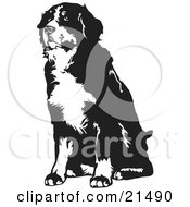 Seated Bernese Mountain Dog Facing Slightly To The Left On A White Background by David Rey