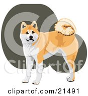 Alert Tan And White Akita Dog With A Curly Tail Looking At The Viewer by David Rey