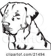 Labrador Retriever Dogs Face Looking Off To The Left On A White Background by David Rey