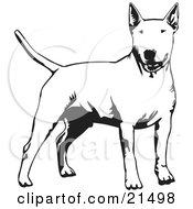 Alert Bull Terrier Dog Holdings Its Tail Out And Facing Front On A White Background by David Rey