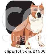 Tan And White American Staffordshire Terrier Dog Sitting And Looking Forward by David Rey