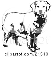 Alert Golden Retriever Dog Looking Forward Over A White Background by David Rey