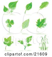 Collection Of Maple, Shamrock, Birch And Other Tree Leaves And Grasses With Shadows On A White Background