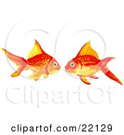 Pair Of Two Goldfish In Love Facing Each Other