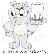 Royalty Free RF Clipart Illustration Of A Gray Bulldog Mascot Holding A Tooth