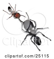 Large Black Worker Ant Facing And Conversing With A Little Brown Ant
