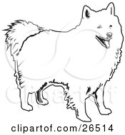Friendly American Eskimo Standing Black And White by David Rey