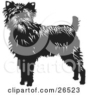 Alert Affenpinscher Dog Looking Front by David Rey